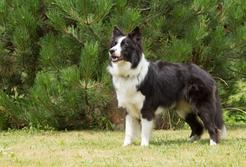 TOP 10 ras średnich psów - opis, opinie, charakter, wymagania