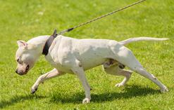 Dog argentyński - opis, charakter, wymagania, zdjęcia, porady hodowców