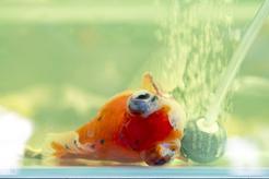 Posocznica u ryb – objawy, rozpoznanie, leczenie, zapobieganie