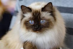 Hodowla kota birmańskiego – wyjaśniamy, gdzie kupić rasowe kocięta
