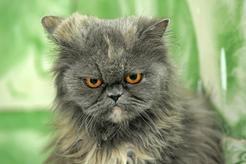 Niebieski kot perski - cechy, opinie, żywienie, opieka