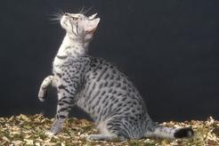 Kot egipski mau – charakterystyka, usposobienie, wymagania, pielęgnacja