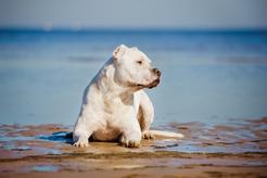 Dog amerykański - charakterystyka, usposobienie, opinie, choroby