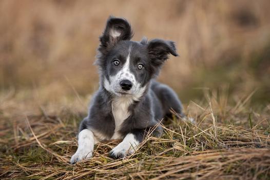 hodowle psów