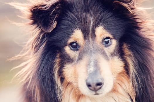 psy długowłose