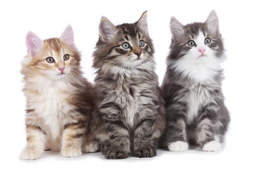 hodowle kotów