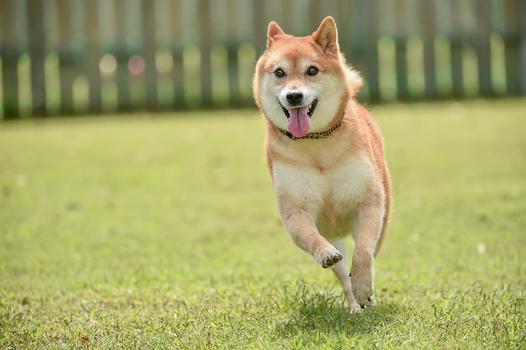 psy japońskie
