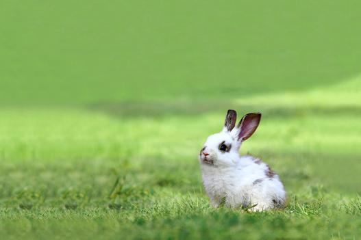 rasy królików