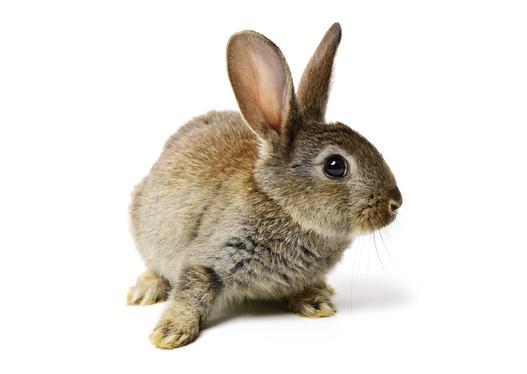 króliki hodowlane