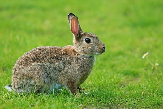 króliki domowe