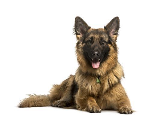niemieckie rasy psów