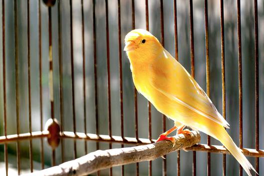 kanarki