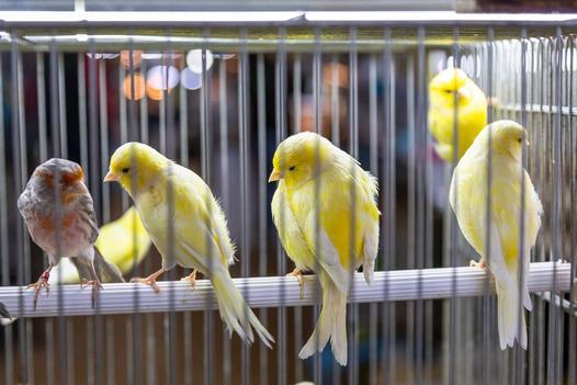 ptaki domowe