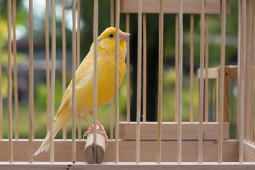 ptaki śpiewające