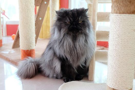 koty długowłose