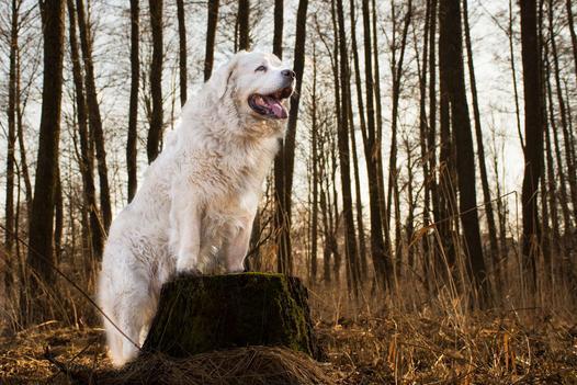 polskie rasy psów