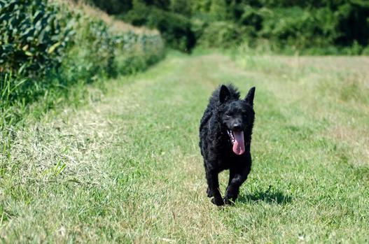 chorwackie rasy psów
