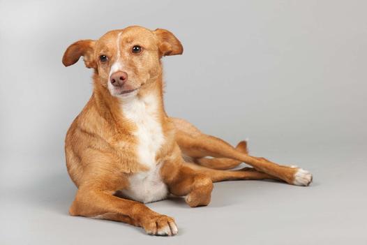 portugalskie rasy psów