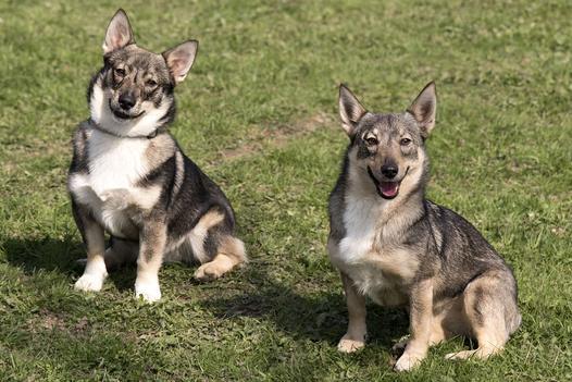 szwedzkie rasy psów